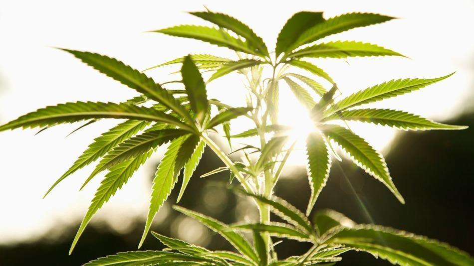 Nasiona Marihuany Feminizowane